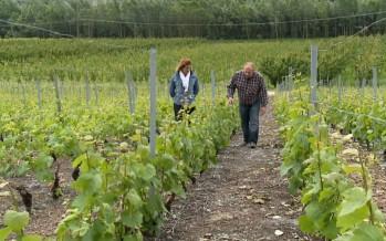 Succès pour des vins de luxe déclassés comme de tristes piquettes