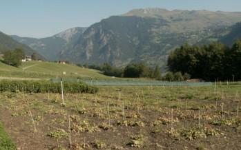 Plantes aromatiques: des cultures valorisantes pour la montagne