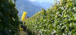 Que sont devenues les vendanges de notre enfance? Plongée dans la secteur viti-vinicole valaisan