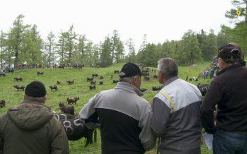 C'est parti pour les inalpes en Valais! Visite au col du Tronc