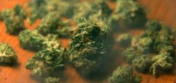 Cannabis, du côté lumineux à la face obscure