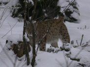 La population de lynx qui occupe le territoire valaisan est faible. La faute au braconnage?