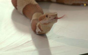Le saviez-vous: le venin de serpent sert à la médecine et à la cosmétique