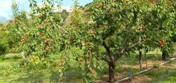 Protéger les abricotiers du gel: quels moyens les arboriculteurs peuvent-ils utiliser?