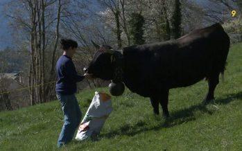Rencontre avec Mathilde Dauphin, fromagère et éleveuse qui bichonne sa vache avant le combat de Savièse