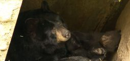 L'ourson noir «Mirus», né cet hiver au zoo des Marécottes, se porte bien