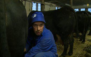 Les vaches de la race d'Hérens savent se battre, elles savent aussi faire du lait!