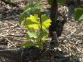 Le gel noir de printemps a des conséquences sur l'entretien du vignoble et des fruitiers valaisans