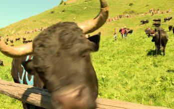 Inalpes: les vaches ont quitté leur étable pour les verts pâturages