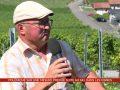 Gel d'avril: polémique sur une mesure proposée par l'interprofession de la vigne et du vin