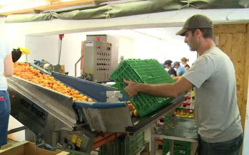 La saison des abricots valaisans, c'est bientôt terminé! La production 2017 correspond à une demi-récolte