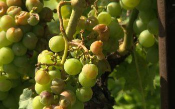 La vigne une nouvelle fois touchée dans le Valais central: après le gel, la grêle. Une trentaine d'hectares ont subi des dégâts