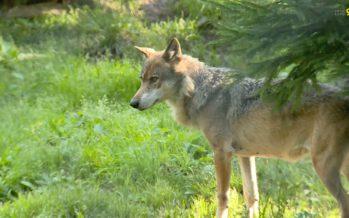 Une louve, jusqu'à présent inconnue, a sévi dans le Haut-Valais à fin juin