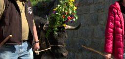 La désalpe du côté d'Ayer. Fini pour les vaches de brouter dans les pâturages: l'automne approche à grands pas