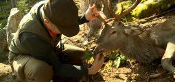 La chasse est ouverte en Valais. Cette année, les cerfs sont particulièrement dans le viseur