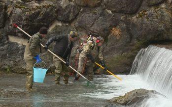 Le repeuplement piscicole permet le maintien de poissons là où interviennent de nombreuses activités humaines