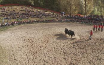 Finale de la race d'Hérens: les 5 et 6 mai, 300 bêtes s'affronteront dans l'arène de Pra Bardy. Et des nouveautés sont annoncées