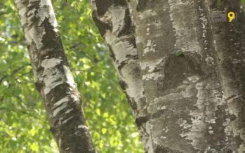 Rhume des foins particulièrement violent ce printemps en raison de la forte quantité de pollen