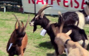 5e édition de la fête de la chèvre à Lens: il n'y a pas que des reines pour se battre dans les arènes