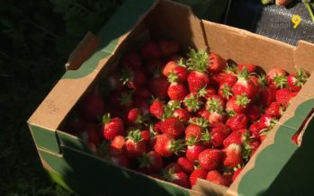 Les fraises valaisannes sont mûres. Et elles sont magnifiques! À cueillir encore pendant une dizaine de jours