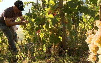 La Diolle: patrimoine viticole ressuscité