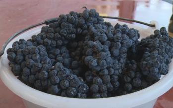 Viticulture: les grappes de raisins surmaturés ont quatre mois d'avance