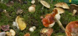 La mycologie, ça ne s'improvise pas! Champignonneurs, ne boudez pas votre plaisir, mais soyez prudents!