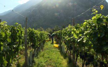 Vendanges en Valais: du cep jusqu'au pressoir. Itinéraire de deux grappes qui donneront vin rouge et vin blanc