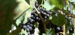 La plus petite vigne, la plus vieille, la plus haute, la plus pentue? Le vignoble valaisan est terre de tous les records!