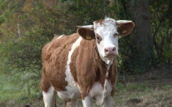 Faut-il donner des subventions aux éleveurs qui conservent les cornes à leurs vaches?