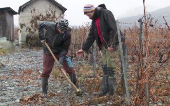 Biodiversité: le retour des arbres dans la vigne à Leytron et à Chamoson