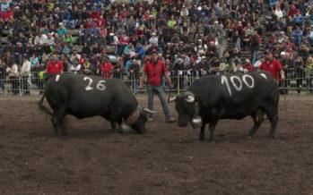 La Fédération suisse d'élevage de la race d'Hérens prévoit quatre projets d'envergure pour fêter ses 100 ans!