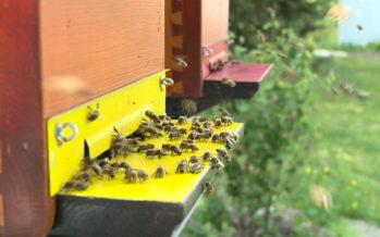 La sélection des abeilles, une arme pour lutter efficacement contre le déclin des pollinisateurs