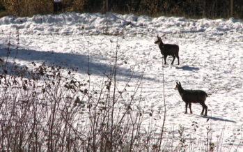 Chutes de neige: un hiver compliqué pour la faune sauvage