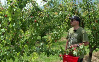 Abricots: la pire récolte depuis 30 ans