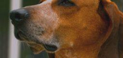 Morsures de chien: jamais le Valais n'avait enregistré autant de cas. Comment expliquer cette hausse?