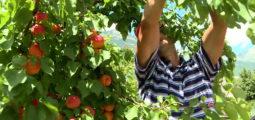 Avec deux semaines d'avance, la cueillette des abricots bat son plein