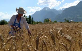 Relancées il y a quelques années, les céréales anciennes portent leurs fruits
