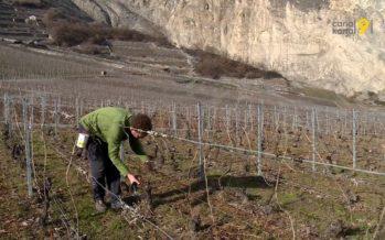En croissance, le bio représente 20% de la surface agricole en Valais. «Les producteurs se sont aperçu que le marché est intéressant»