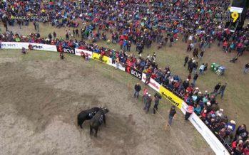 Environ 300 vaches, 15'000 spectateurs, 800'000 francs de budget: Région Dents du Midi voit grand pour la finale de la race d'Hérens