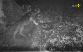 Des pièges photographiques au-dessus de Vionnaz et Vouvry ont repéré sept louveteaux