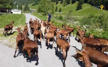 «Ma première passion, c'était les vaches. Puis on a développé l'élevage de chèvres laitières». Rencontre avec Nicolas Frossard