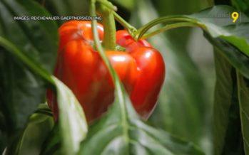 Le climat du Chablais est idéal pour les poivrons! Une serre high tech y sera construite et la production pourrait démarrer en 2023