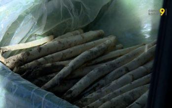 Les asperges valaisannes sont là! Près de 250 tonnes seront récoltées cette année