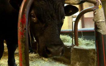 Race d'Hérens: la passion comme moteur! Les éleveurs choient leurs bêtes, à quelques jours de la finale à Aproz