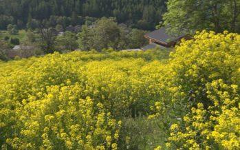 Le bunias d'Orient ou encore l'ailante glanduleux: deux plantes exotiques envahissantes qui posent problème
